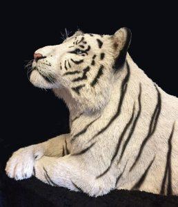 Dali Dozen's Anne Andersson's work White Tiger